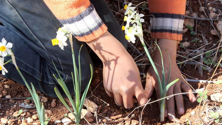 ينبت النرجس من بصلة شتوية معمرة.