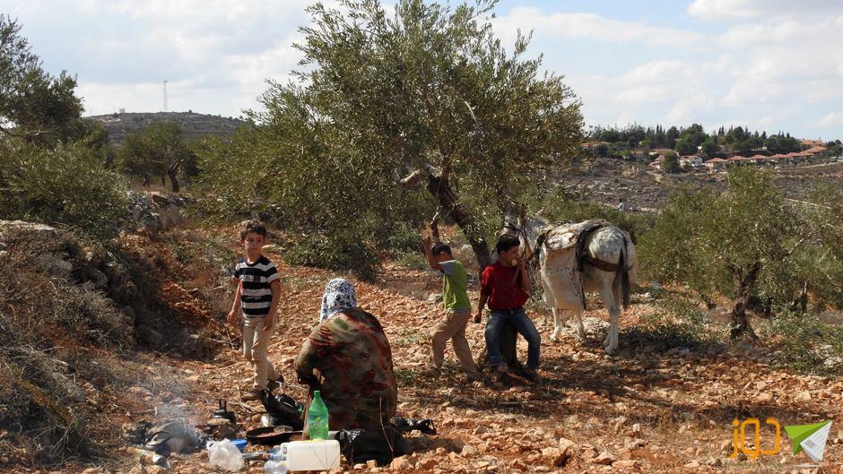 قطف الزيتون في بيت فوريك قرب مستوطنة إيتمار