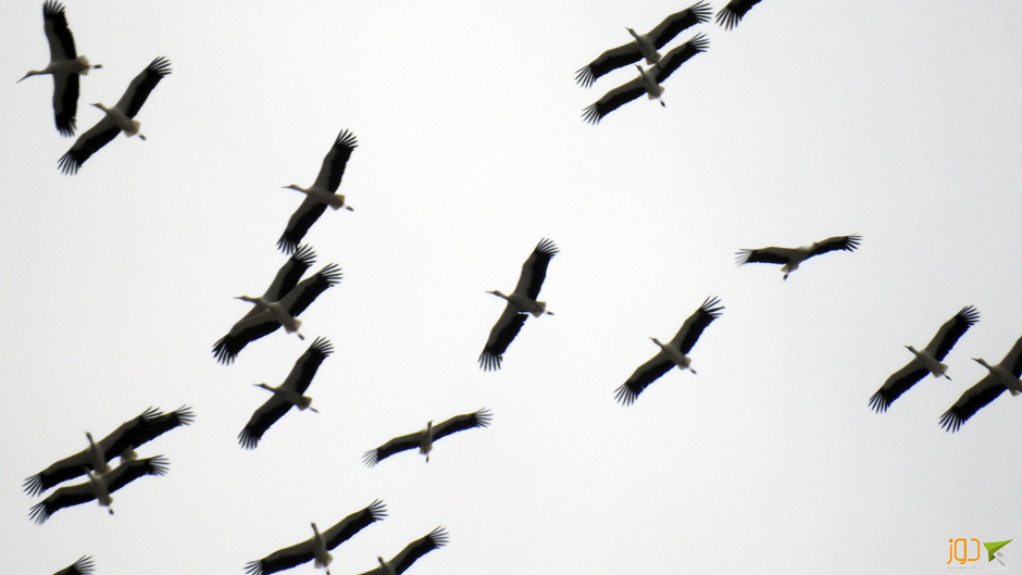 طيور أبو سعد المهاجرة