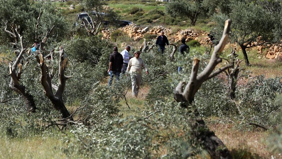مستوطنون يقطعون 100 شجرة زيتون في جالود