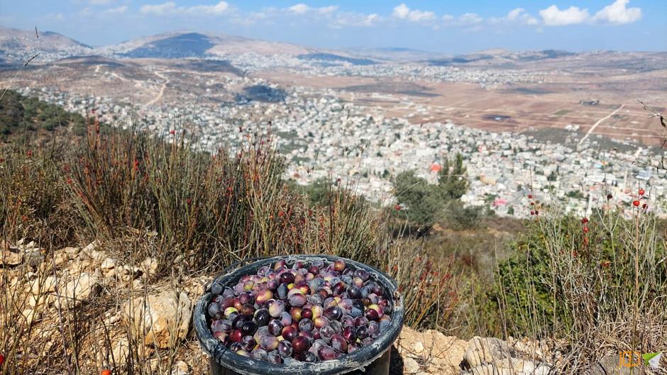 قطف ثمار الزيتون جنوب بيت فوريك