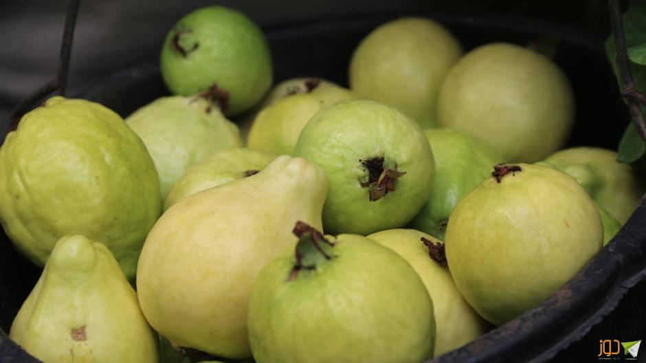 موسم قطف ثمار الجوافة في عزون